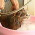 Mèo bị Ghẻ, Viêm da rụng lông từng mảng bôi Thuốc gì?
