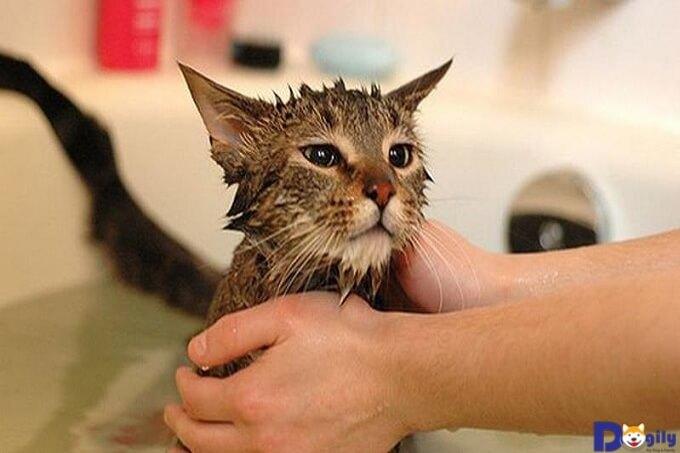 Trị ghẻ cho Mèo bằng thảo dược.