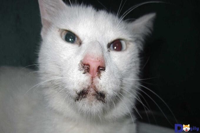 Virus Parvovirus có thể lây lan sang cá thể mèo khác qua tiếp xúc
