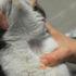Bệnh giảm bạch cầu ở mèo và cách điều trị