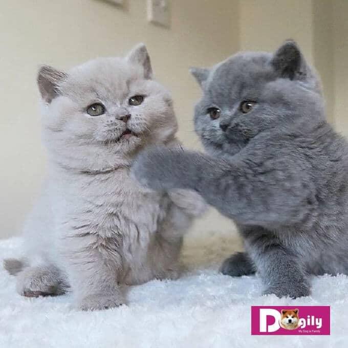 Giống mèo lông ngắn Anh (ALN) có tính cách hết sức thân thiện và tình cảm. Rất quấn quýt với chủ nhân.