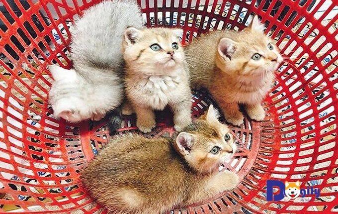 Giai đoạn nuôi mèo con từ 1-3 tháng tuổi đúng cách rất quan trọng. Quyết định đến việc hình thành tính các và ngoại hình của mèo con khi trưởng thành. Hình ảnh một đàn mèo Anh lông ngắn gold của Dogily Cattery.