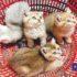 Cẩm nang hướng dẫn cách nuôi mèo con đến lúc trưởng thành| Kinh nghiệm nuôi mèo cảnh từ Dogily Cattery.