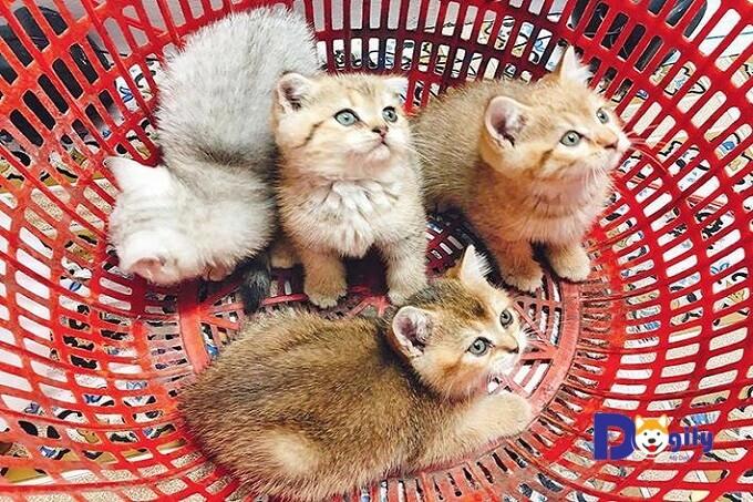 Giá mèo Anh lông ngắn (ALN) con ở Việt Nam phụ thuộc vào nhiều yếu tố.