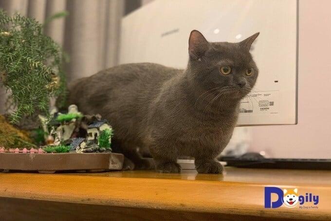 Việc bổ sung các vi chất như canxi nano, vitamin omega 369 đúng cách trong khi nuôi mèo con từ nhỏ hỗ trợ cho sự phát triển lâu dài của mèo cưng. Hình ảnh một chú mèo ALN chân ngắn, tai cụp cực mập mạp của Dogily Cattery.