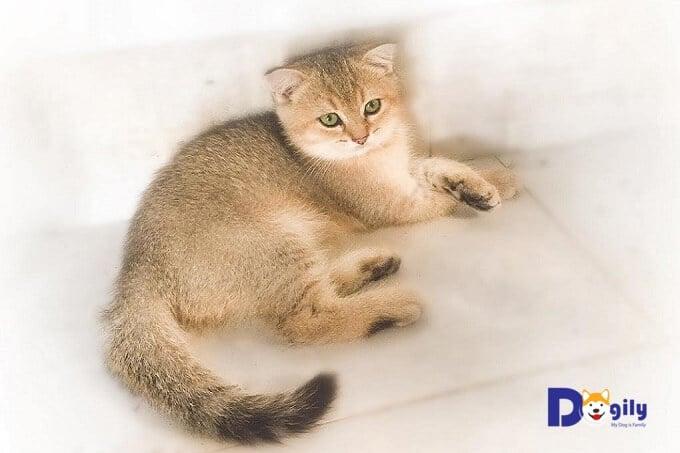 Hình ảnh một chú mèo Anh lông ngắn con 8 tháng tuổi màu gold được nuôi bài bản, đúng cách tại Dogily Pet shop.