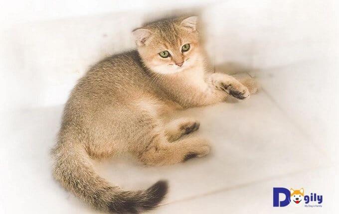 Giá mèo Anh lông ngắn thời điểm năm 2019 đã giảm hơn rất nhiều so với khoảng 10 năm trước đây. Trong hình: một chú mèo Anh lông ngắn màu Gold của Dogily Cattery.