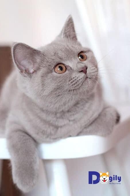 Hình ảnh một chú mèo Anh lông ngắn màu Lilac.