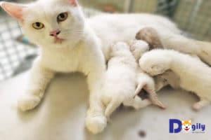Trong giai đoạn mèo trưởng thành. Bạn cần quan tâm nhiều hơn đến các kinh nghiệm nuôi mèo sinh sản. Hình ảnh một chú mèo Aln 2 tuổi màu trắng đang chăm con tại Dogily Cattery.