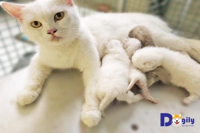 sinh sản ở mèo Anh lông ngắn