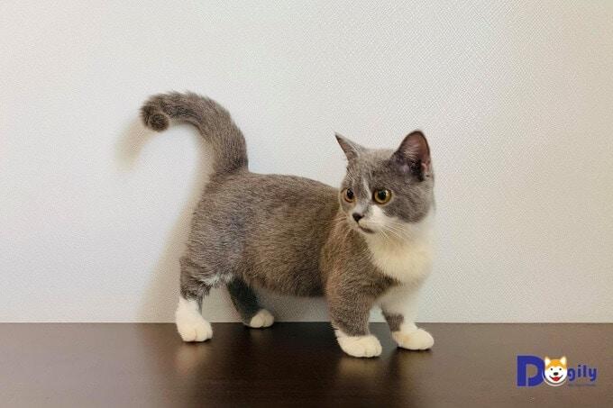 Mèo Anh lông ngắn, chân ngắn có giá cao hơn 1,5-2 lần so với mèo Anh lông ngắn bình thường. Trong hình là một bé mèo Anh lông ngắn màu xám xanh chân ngắn (munchkin) của Dogily Cattery.