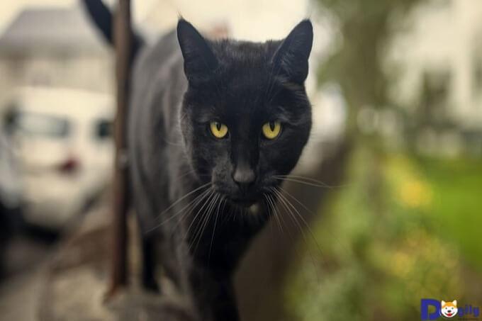 Đôi mắt hút hồn khiến mèo Bombay trông cực kỳ nổi bật