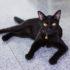 Giải mã bộ lông đen bí ẩn của giống mèo Bombay