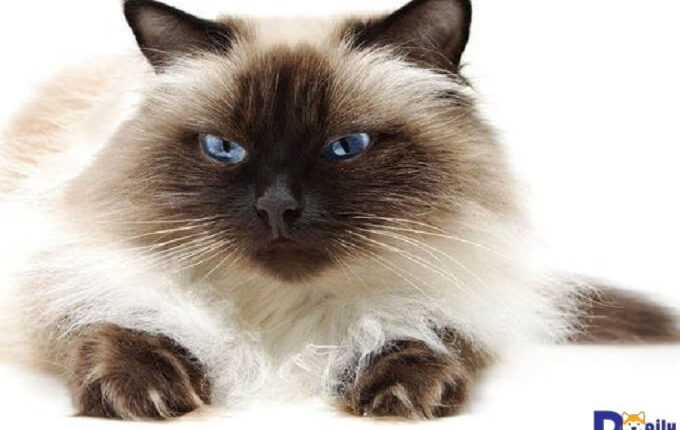 Khuôn mặt nhọ nhem đáng yêu của mèo Himalayan