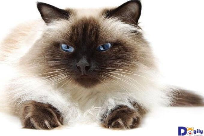 Đặc điểm của mèo Himalayan và cách chăm sóc chúng