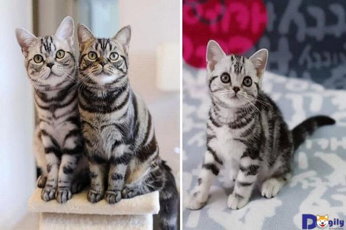 Mèo Mỹ lông ngắn một giống mèo thuần chủng và nổi tiếng trên toàn thế giới