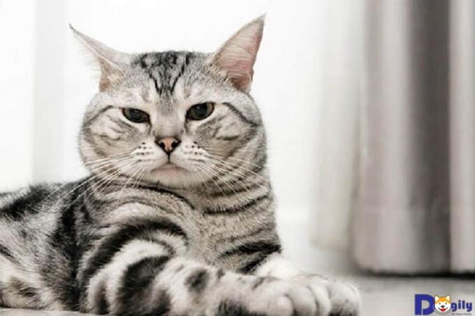 Bật mí những bí mật về loài mèo Mỹ lông ngắn