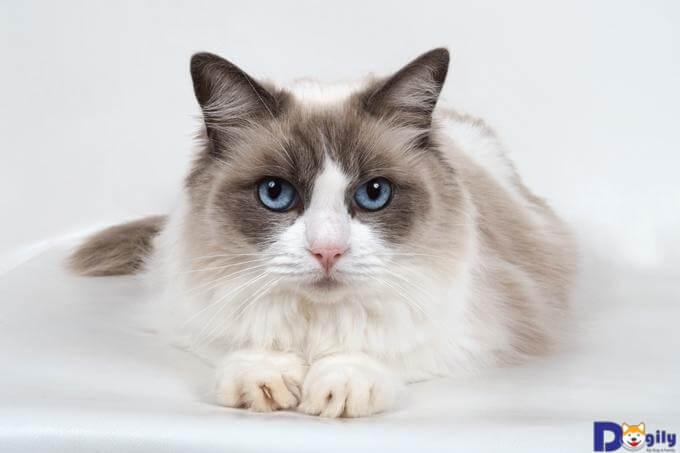 Mèo Ragdoll nhận được nhiều sự yêu mến bởi tính cách ngoan ngoãn