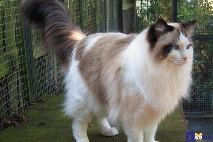 Từ 4 tuổi trở lên, Ragdoll mới phát triển hoàn thiện về kích thước và cân nặng