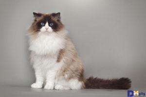 Tại Việt Nam, có thể mua mèo Ragdoll từ Thái Lan hay châu Âu