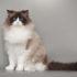 Mèo Ragdoll giá bao nhiêu? Đặc điểm ngoại hình và tính cách
