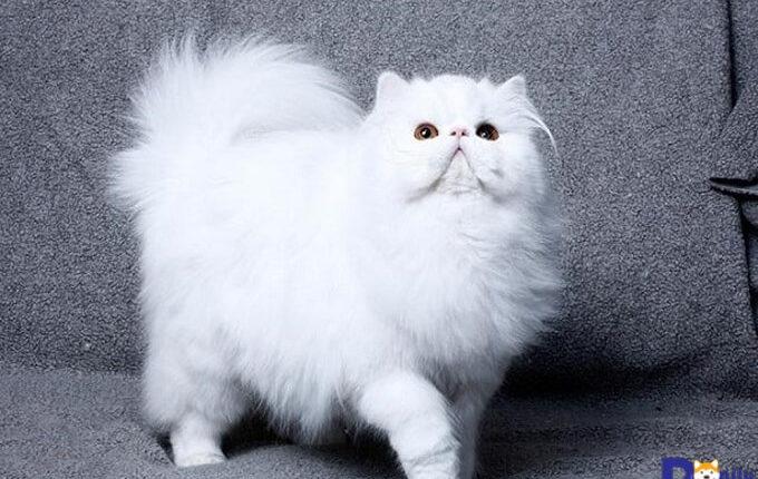 Mèo Ba Tư là một trong những giống mèo trắng đẹp tinh khôi