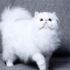 Những giống mèo trắng đẹp? Mèo chạy vào nhà điềm lành hay dữ?