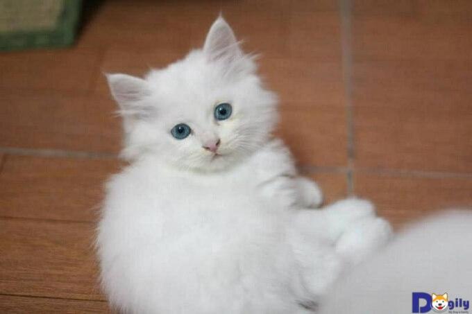Mèo anh lông trắng trông rất hiền lành và ngoan ngoãn