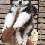 Hình ảnh chó Alaska đen trắng