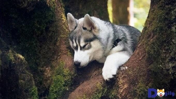 Để chú chó Husky của mình được khỏe mạnh hơn ta cần tìm hiểu và nắm rõ những căn bệnh chúng có thể mắc phải và cách phòng tránh cũng như chữa trị