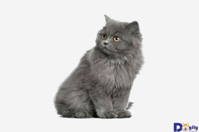 Mèo lông dài rất hiếu động, thích đùa giỡn