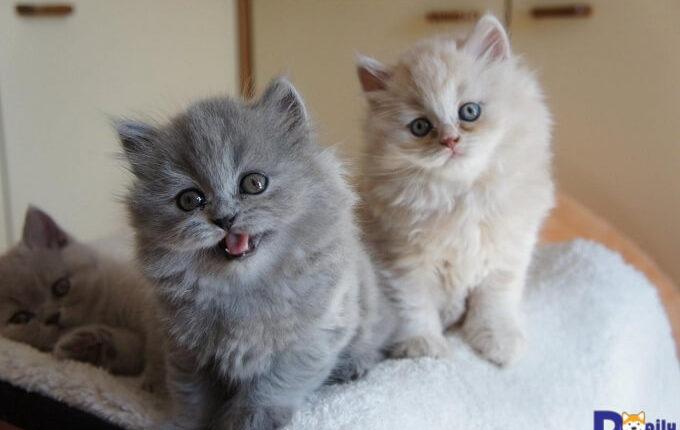 Ngoại hình nổi bật của mèo là bộ lông dài
