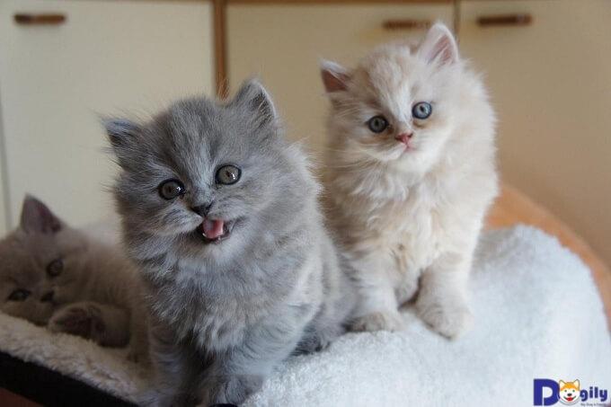 Mèo Anh lông dài bao nhiêu tiền? Đặc điểm và cách chăm sóc