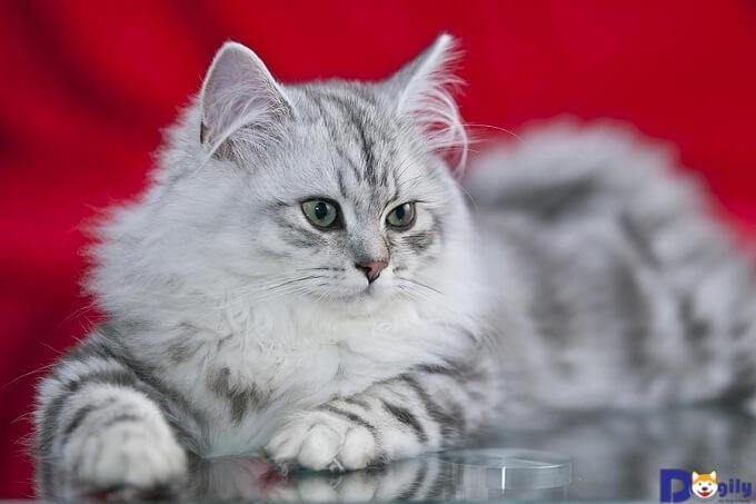 Mèo Anh có lông dài có giá bao nhiêu?