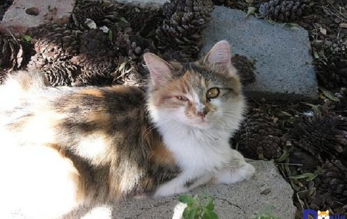 Đau mắt đỏ là bệnh thường gặp trên đôi mắt của Mèo.