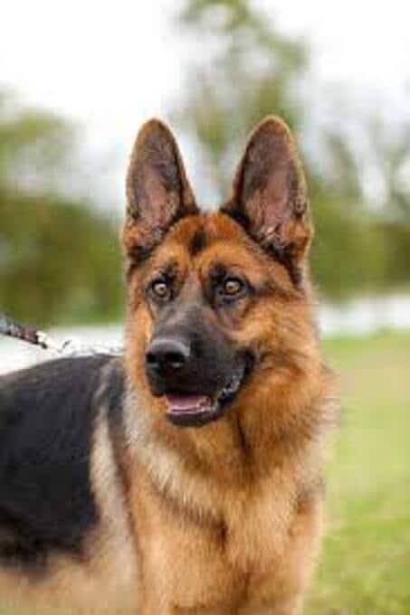 Để lựa chọn mua chó Becgie thuần chủng không phải là việc đơn giản. Cần tìm hiểu kỹ về giống chó này trước khi quyết định mua về nuôi.