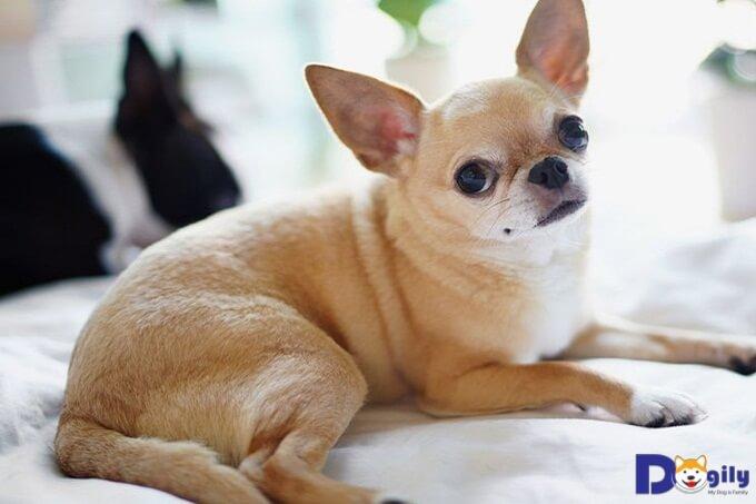 Chó Chihuahua lai dễ thương