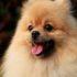 Mua chó Phốc Sóc và những lưu ý để bạn có thể mua được một chú chó như mong muốn