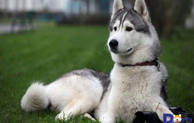 Trước khi đón chó Husky về bạn nên kiểm tra thật kỹ tình trạng sức khỏe của bé để tránh mua phải chó bệnh