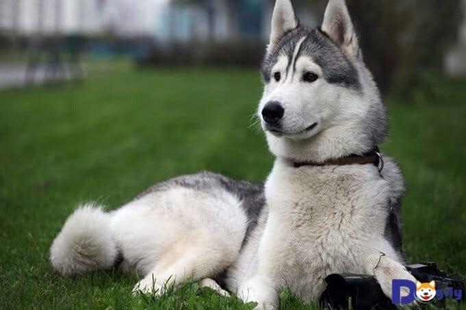 Địa chỉ mua bán chó Husky uy tín bạn nên biết