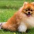 Giá chó Phốc Sóc – những yếu tố quyết định giá cả bạn nhất định phải biết trước khi mua