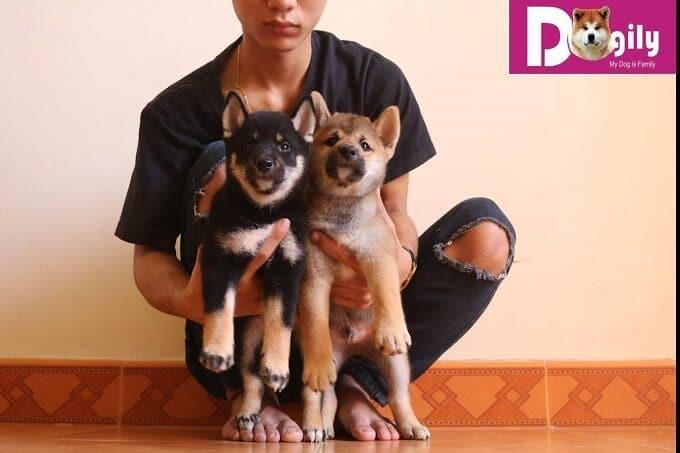 Với mức giá rẻ dưới 20 triệu đồng, bạn khó mua được một chú chó Shiba chất lượng.