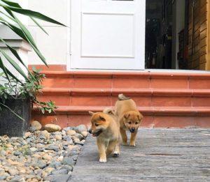 Việc chăm sóc chó Shiba khỏe mạnh đòi hỏi bạn phải có kiến thức và sự yêu thương, kiên trì.