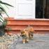 Chăm sóc chó Shiba khỏe đẹp – Kinh nghiệm từ Dogily Petshop.