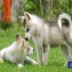 Giá chó Husky bao nhiêu tiền luôn là mối quan tâm hàng đầu của những người yêu mến giống chó này.