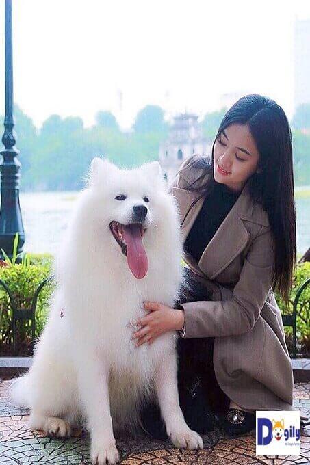 Chó Samoyed nhập khẩu từ châu Âu tối thiểu cũng trên 45 triệu đồng 1 con.