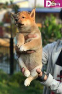 Giá chó Shiba nuôi tại các hộ gia đình thường khá rẻ. Tuy nhiên, tiềm ẩn nhiều rủi ro về thanh toán, bảo hành và chất lượng chó con.