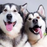 Giống chó Husky có nguồn gốc từ vùng Siberia nước Nga.