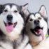 Giống chó Husky – Thông tin cơ bản, đặc điểm, giá mua bán?