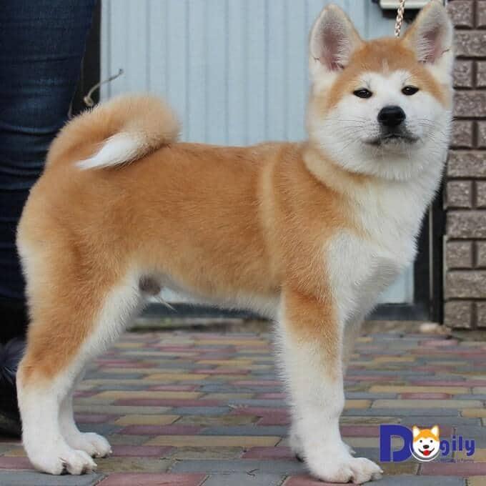 Tại trang trại Dogily Petshop. Tất cả chó Akita con đều được huấn luyện từ 2 tháng tuổi.